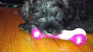 Mini Schnauzer Puppy Playing With His New Kong Toy