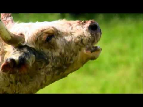 Chillingham Wild Cattle from YouTube · Duration:  4 minutes 43 seconds