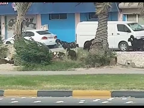 Farm animals feeding on Bahrain's roundabouts