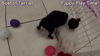 Boston Terrier, Puppies, For, Sale, In, Kearney, Nebraska, Ne, Fremont, Hastings