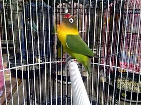 Suara Lovebird Ngekek Keras dan Gacor Masteran