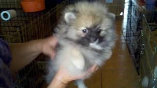 """""""mariah"""" Pomeranians For Sale Queen Poms"""