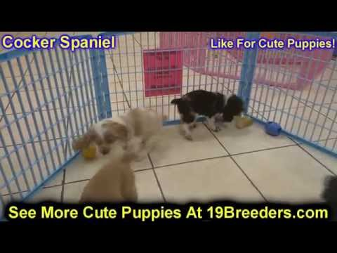 Cocker Spaniel, Puppies, Dogs, For Sale, In Las Cruces, County, New Mexico, NM, 19Breeders, Santa Fe