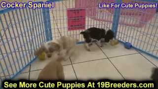 Cocker Spaniel, Puppies, For, Sale, In, Rio Rancho, New Mexico, County, Nm, Sandoval, San Juan, Mcki
