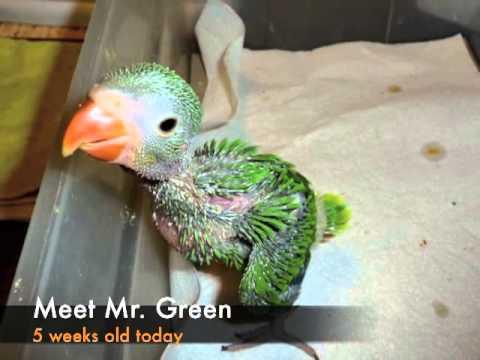 Indian Green Parrot Baby Baby Indian Ringnecks ...