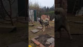 Kaukázusi juhászkutya Argosz lövés teszt 13 hos