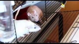Декоративные крысы и другие питомцы