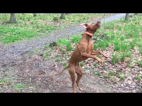 Addicted to jump! Hungarian Vizsla