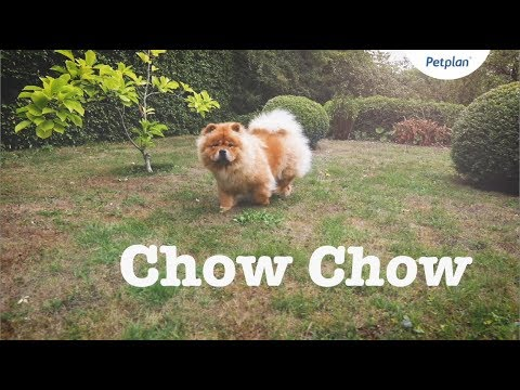 Chow Chow Puppies & Dogs | Breed Facts & Information | Petplan