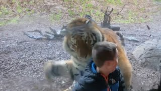 Video: Tiger charges at little boy at Dublin Zoo
