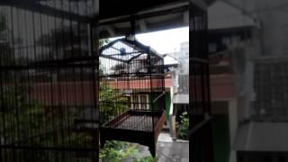 Download Video Suara burung ciblek batu MP3 3GP MP4