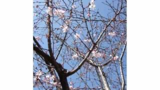 日野美歌 - 桜が咲いた