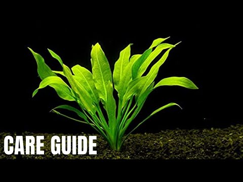 Plant Species Spotlight - How To Grow, Care For And Propagate Amazon Sword Plants