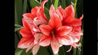 Любимые растения-Амариллис прекрасный