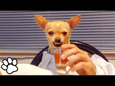 100 Funny Chihuahua Videos | Try Not To Laugh Challenge | That Pet Life