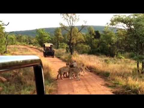 Lioness calls her cubs to lunch