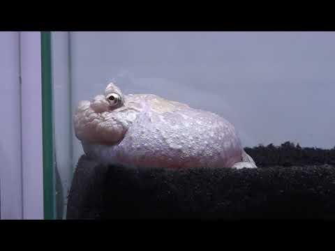 クランウェルツノガエルミューテーション Ceatophrys cranwelli ラボ 日本最大級の体感型カエル館 kawazoo カワズーに行って来ました~ 00074