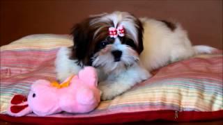 Shih Tzu Puppy - White-red Color.