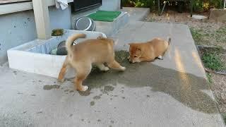 楽しそうに遊ぶ山陰柴犬モモの弟妹です。