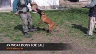 K9 Work Dog Training: K9 Police Dogs For Sale