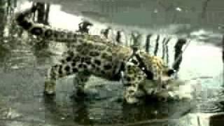 Гибридная порода кошек — ашера ^__^