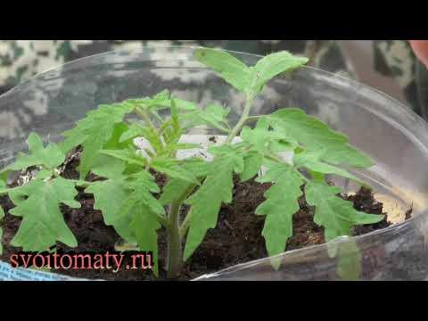 Чем подкормить рассаду томатов и перцев