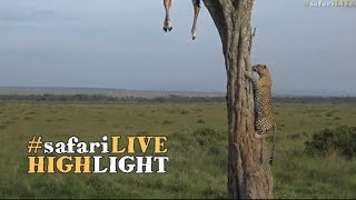 Leopard with a hoisted giraffe kill!