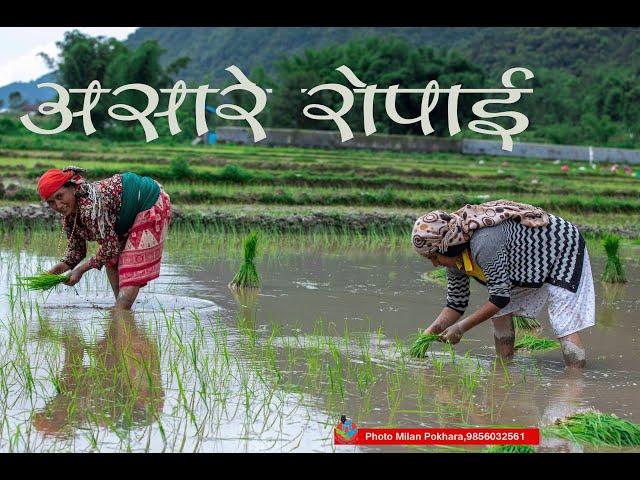 ROPAI IN HEMJA हेमजा फाँटमा असारे रोपाई  #riceplanting #asaregeet