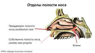 Возрастная анатомия носа