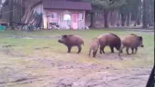 Дикие животные нападают!!!