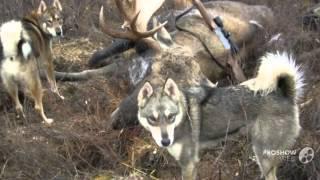 Восточно-сибирской лайки порода собак