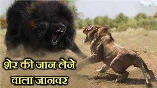 10 ऐसे जानवर जो शेर की जान ले सकते हैं . 10 ANIMALS THAT CAN KILL A LION . Thumb