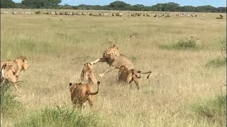 Rogue male lions mess with the wrong  lion pride
