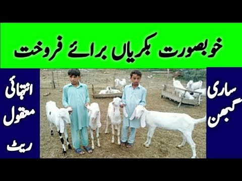 Goat for sale || rajanpuri Goat price || Goat Farming Business