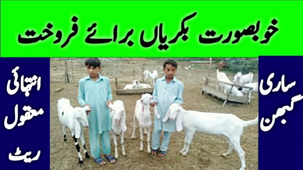Goat for sale || rajanpuri Goat price || Goat Farming Business || rajanpuri  female bakri price