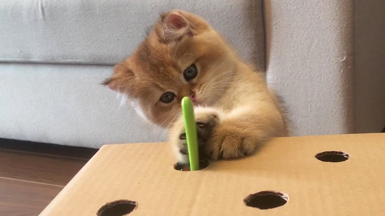 Cute Kitten Vs Cardboard Hunt Toy