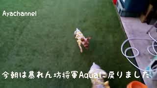 元保護犬Aquaくん、元気いっぱいになりました🤗 thumbnail