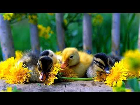 I Love Little Baby Ducks