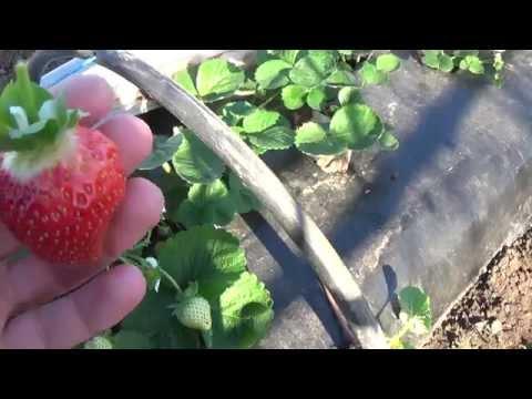 Клубника Портола portola в парнику | клубника | портола | парник | strawberries | portola