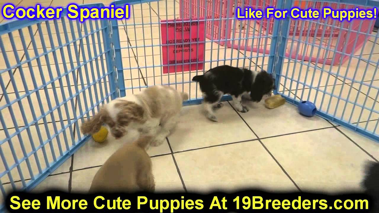 Cocker Spaniel, Puppies, Dogs, For Sale, In Denver ...