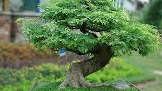 inspirasi bonsai lamtoro/ petai cina/mlandingan