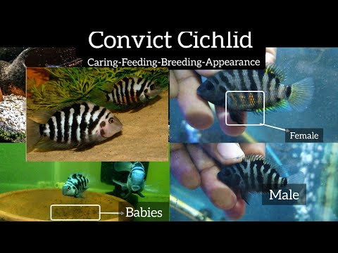 Convict Cichlid-Care Feeding Breeding Appearance Facts-easiest Cichlid Fish To Breed-Tamil-Eshwar .G