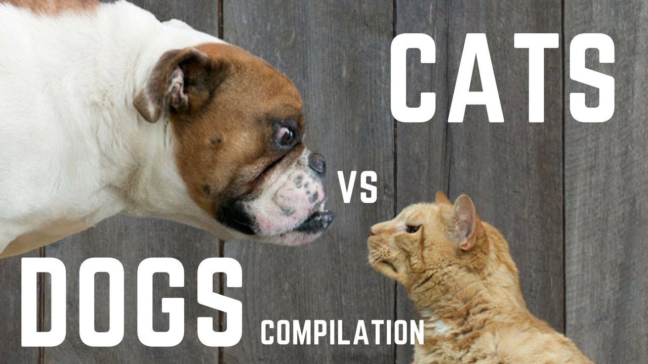 Uncategorized Funny Dog And Cat Videos cats vs dogs compilation funny dog and cat videos 1 by badcat badcat