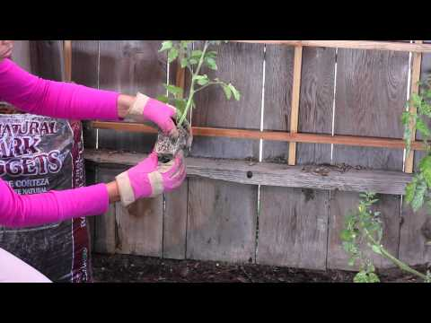 How to Grow Tomatoes in a Backyard : The Chef's Garden