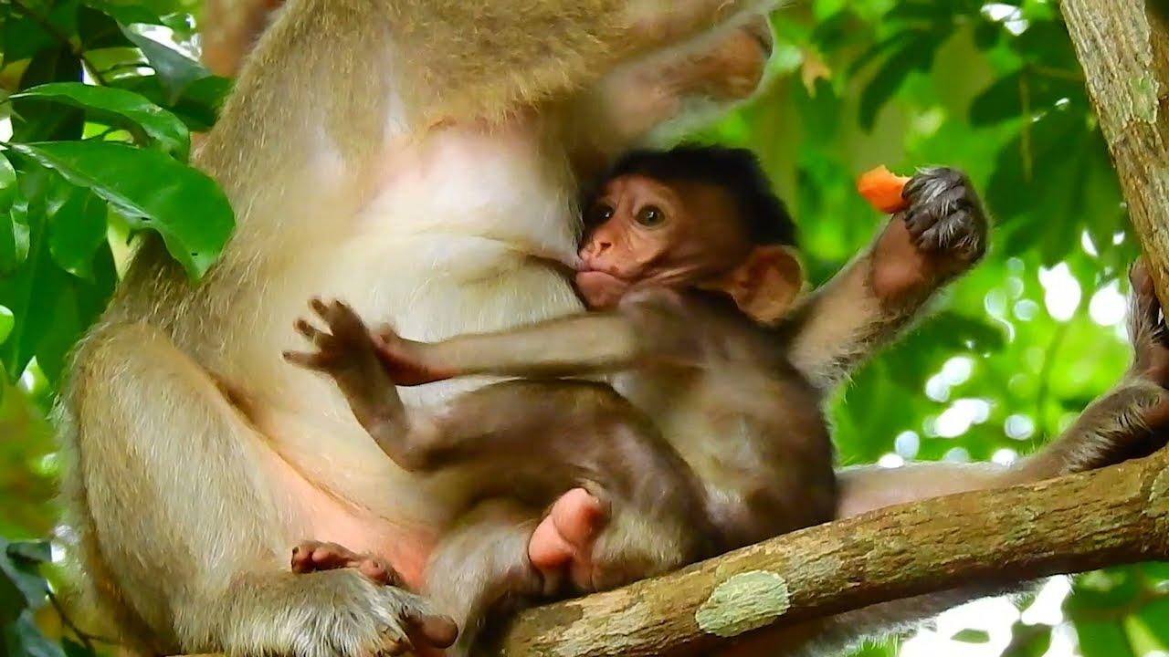 Baby monkey feeding until plenty