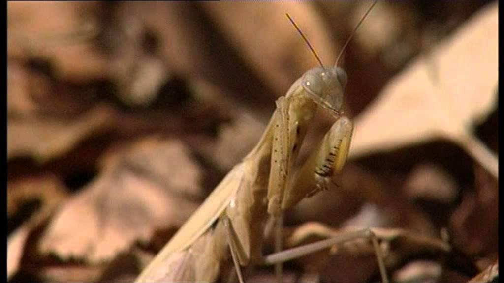 Alien Insect: Praying Mantis