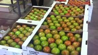 Classificador Eletrônico de tomates - Máquinas Cronos
