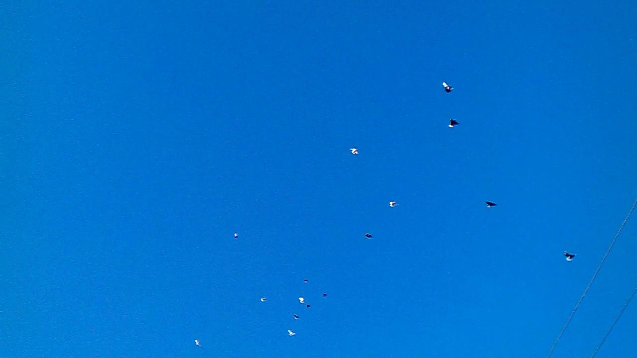николаевские голуби ютуб силу