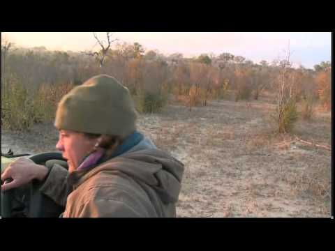 June 11 WildEarth Safari AM drive: Tingana Male Leopard
