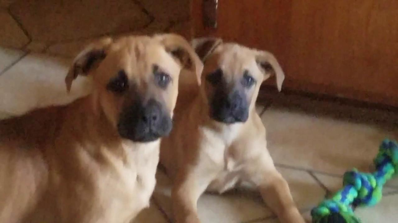 Cute puppies playinng. German shepherd boxer mix. Jack Russell Rat Terrier mix. - YouTube